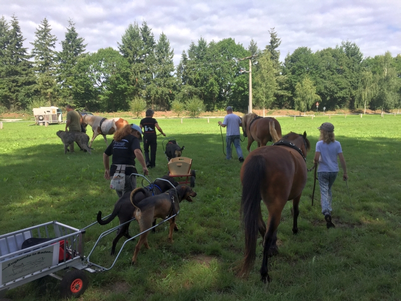 Zughunde_Training_in_Bruchhausen_05_08_2017_022